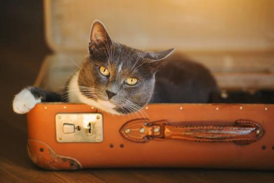 Katze im Koffer